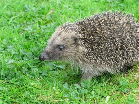 Hedgehog photo by Hugh Warwick